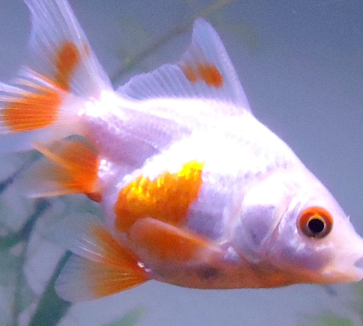 7 way to appreciate goldfish melanie 39 s dreams for Dreaming of eating fish