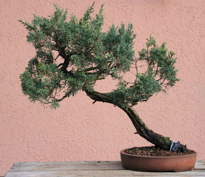 juniper before